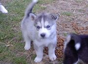 lovely and potty train  siberian husky puppies for sale