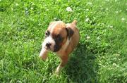 lovely boxers puppies for friendly homes