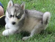 Adorable Siberian husky puppies seeking a new home
