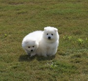 PureBred Japanese Spitz Puppies,  from best champion Blood Line. $250