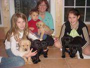 Labrador Retriever precious puppies available