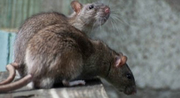 FLATLINE PEST CONTROL - Rodent Inspections in Central Coast