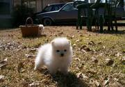 cute and lovely blues eyes male and female pomeranian puppies for