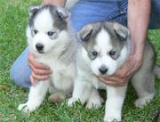 Siberian Husky puppies for sale ready live